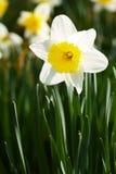 White narcissus Stock Photo