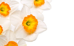 White narcissus Royalty Free Stock Images