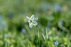White Narcissus in Andorra . poeticus Narciso stock photography