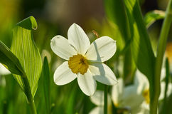 White Narcissus Stock Photography