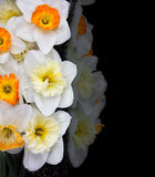 White narcissus on black background