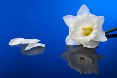White narcissus on blue Stock Photography