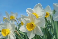 White Narcissus royalty free stock image