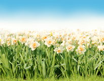 White Narcissus Border over Sky Royalty Free Stock Images
