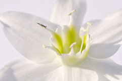 White narcissus close up Royalty Free Stock Photography