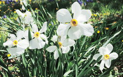 White Narcissus Stock Photos
