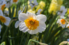 White narcissus. Royalty Free Stock Photo