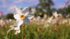 White daffodil flower in spring field. Spring field with beautiful daffodils. White narcissus flower close-up. White daffodil flower in spring field. Spring stock video