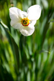 White narcissus flower on flowerbed in garden. Narcissus poeticu. White narcissus flower on flowerbed in the garden. Narcissus poeticus Royalty Free Stock Images