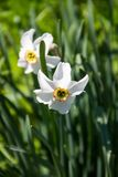 White narcissus flower on flowerbed in garden. Narcissus poeticus Stock Images