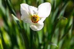 White narcissus flower on flowerbed in garden. Narcissus poeticus Stock Photography