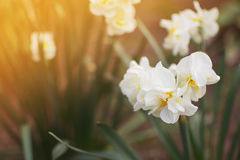 White narcissus flower. S in the garden Royalty Free Stock Image