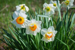 White narcissus flower Royalty Free Stock Photos