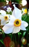 White Narcissus Flower in the garden royalty free stock image