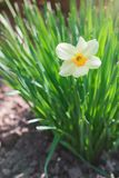 White narcissus flower growing in the garden Royalty Free Stock Photography