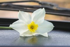 White narcissus flower on machine parts. Nature stock images