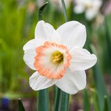 White narcissus flower. Royalty Free Stock Photography