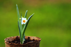 White Narcissus flower in a pot  on grass backround. White Narcissus flower in a pot  on grass green backround Royalty Free Stock Photography