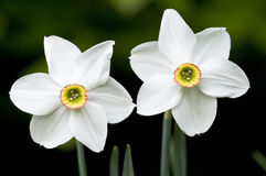 White Narcissus flowers Royalty Free Stock Image