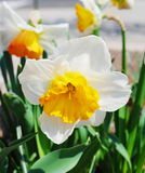 White narcissus flowers Stock Image
