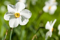 White narcissus flowers also called daffodil, daffadowndilly and jonquil with yellow heart in a green meadow, Germany royalty free stock image