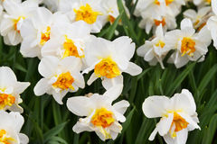 White narcissus. Flowers in the garden. White narcissus. Flowers in the garden Stock Image