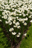 White narcissus. Flowers in the garden. White narcissus. Flowers in the garden Stock Images