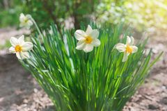 White narcissus flowers growing in the garden Stock Image