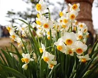 White Narcissus flowers Stock Images