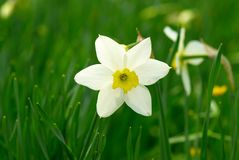 White narcissus in a garden. Delicate flower of the blooming narcissus Stock Images