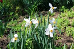 White Narcissus. In the garden Stock Image