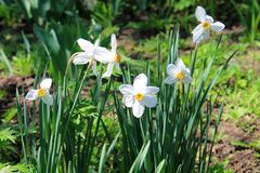 White Narcissus. In the garden Royalty Free Stock Images