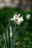 White Narcissus in the garden. The concept of spring and flowers Stock Image