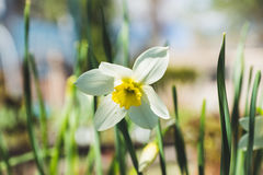 White narcissus in the garden. Shallow depth of field Royalty Free Stock Photo