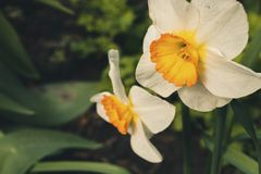 White narcissus in the garden in springtime. Macro shot Royalty Free Stock Images
