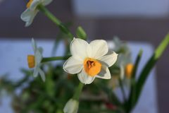 White narcissus in the garden. White narcissus growing in the garden, narcissus poeticus Royalty Free Stock Photo