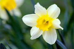 White narcissus on grass. In a garden Royalty Free Stock Images