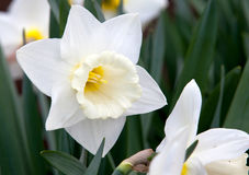 White narcissus on grass Stock Image