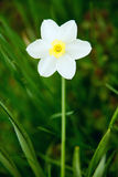 White Narcissus in the grass. Flower of white Narcissus in the green grass Stock Photography