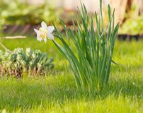 White narcissus. On grass in a garden Royalty Free Stock Photo