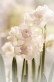 White narcissus and green spring Royalty Free Stock Photography