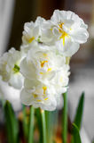 White narcissus and green spring Royalty Free Stock Images