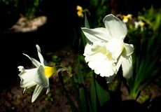 White narcissus in a group growing in a garden flowerbed. Royalty Free Stock Image