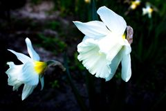 White narcissus in a group growing in a garden flowerbed. Royalty Free Stock Photography