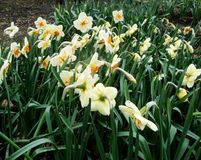 White narcissus grow in the garden Stock Photos