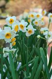 White narcissus in the garden. White narcissus growing in the garden, narcissus poeticus Royalty Free Stock Images