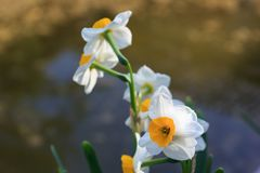 White narcissus in the garden. White narcissus growing in the garden, narcissus poeticus Stock Photos