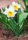 White narcissus growing in the garden. Narcissus poeticus Royalty Free Stock Image