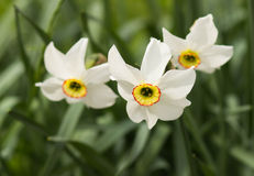 White narcissus growing in the garden. Narcissus poeticus Stock Image