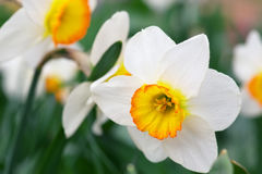 White narcissus growing in the garden. Royalty Free Stock Photography